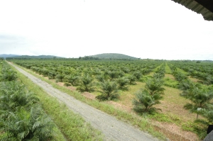 Plantación de palma aceitera en Colombia